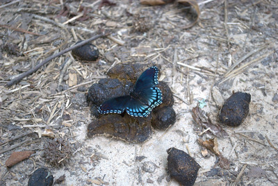 A gorgeous butterfly atop a turd.