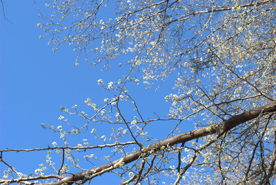 Flowering tree at Piedmont Park