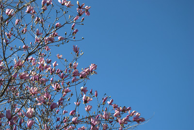 Flowering tree at Piedmont Park