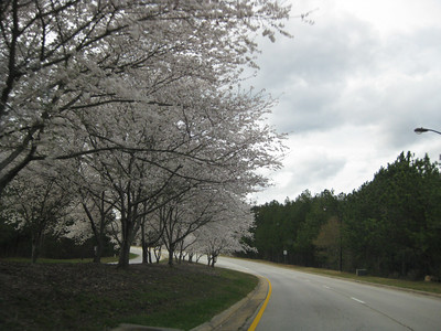 Cherry trees at Georgia International Horse Park, Conyers