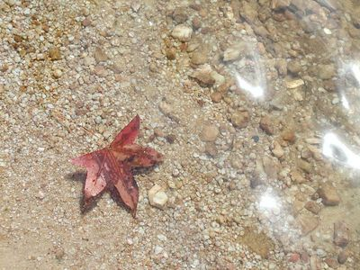 maple leaf floating in the water