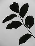 Photo: Silhouetted leaves